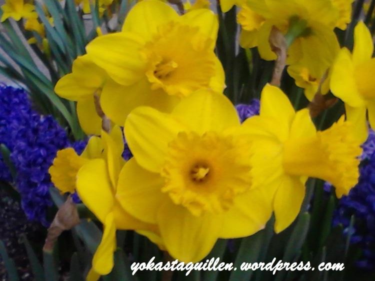 Narcisos- trompeta amarilla